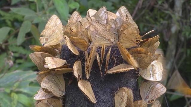 红河州金平1.1亿只蝴蝶集中爆发