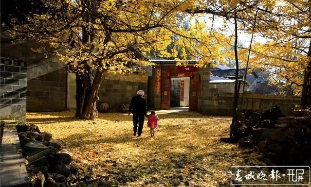 """银杏树、滇山茶被正式公布为腾冲""""市树""""和""""市花"""" (8).jpg"""