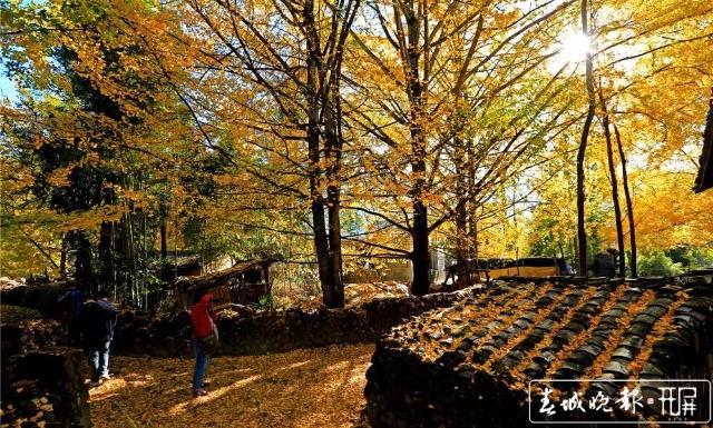 """银杏树、滇山茶被正式公布为腾冲""""市树""""和""""市花"""" (2).jpg"""