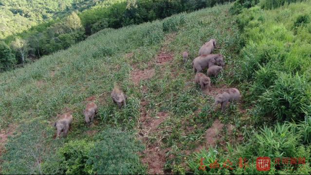 亚洲象被困