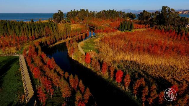 滇池南岸的中山杉红啦!进入最佳观赏期.jpg