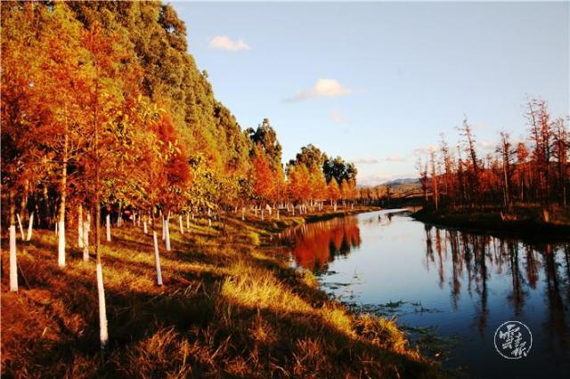 滇池南岸的中山杉红啦!进入最佳观赏期1.jpg