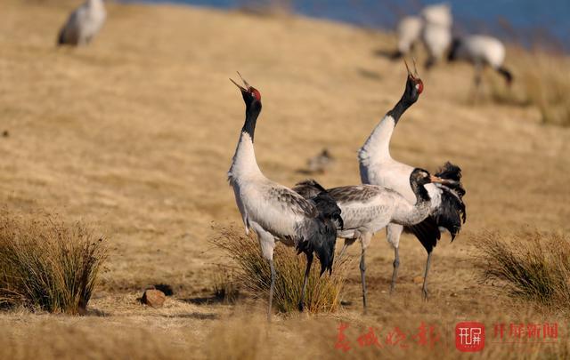 昭通大山包:黑颈鹤