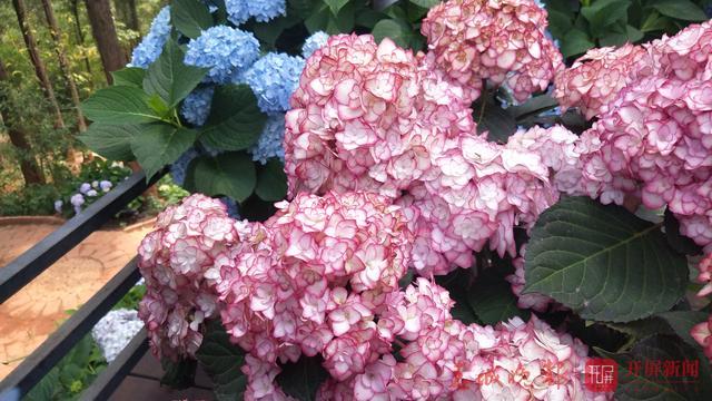 郊野公园5万株绣球花迎来盛开季