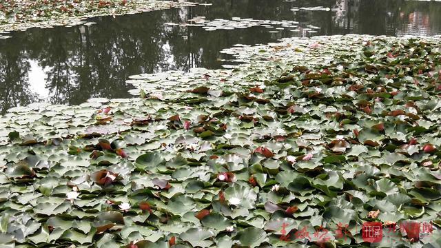 翠湖公园现白色并蒂莲2.jpg