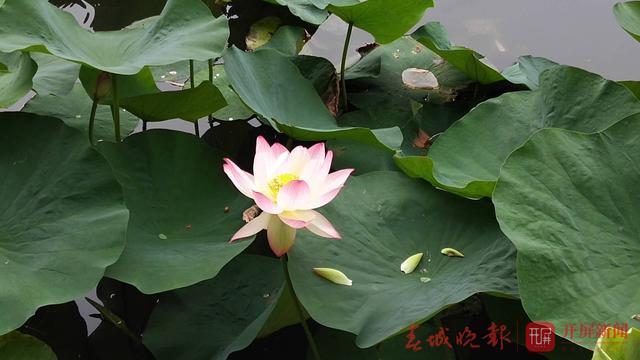 翠湖公园现白色并蒂莲5 (1).jpg