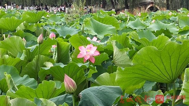 翠湖公园现白色并蒂莲5 (3).jpg