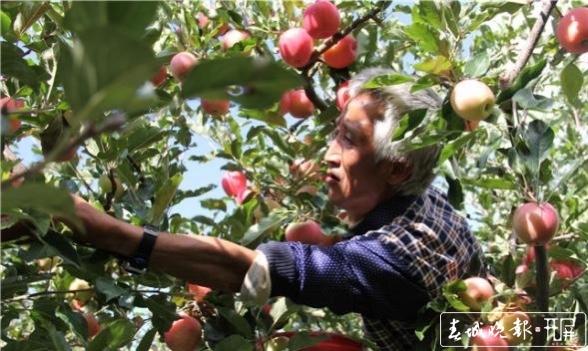 """乌蒙山苹果变身""""金果果"""" """"插翅""""出山向更大市场 (2).jpg"""