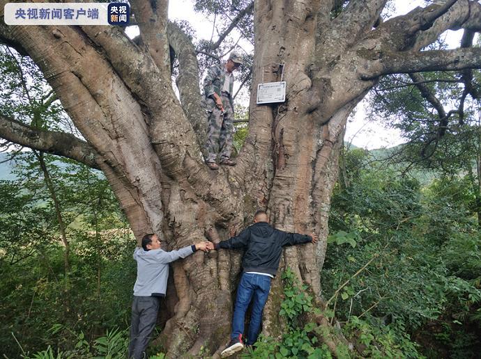 """最大树龄1050年!云南23株百年古树有了""""身份证"""""""