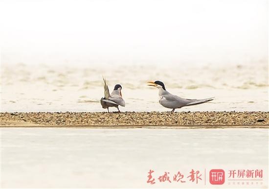 黄嘴河燕鸥.jpg
