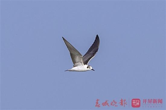 白翅浮鸥.jpg