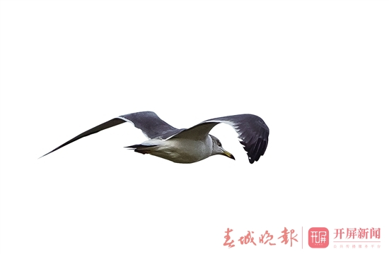 黑尾鸥.jpg
