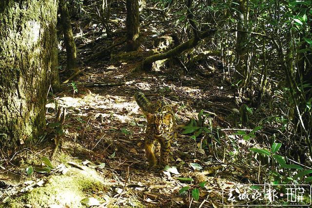 德宏生态摄影师野外拍到非红外云猫影像2.jpg