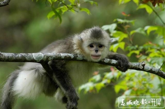 云南为滇金丝猴实施6100亩廊道修复造林 供图