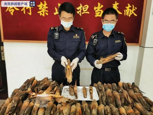 云南孟定海关截获164只红棕象甲活体,系检疫性有害生物1.jpg
