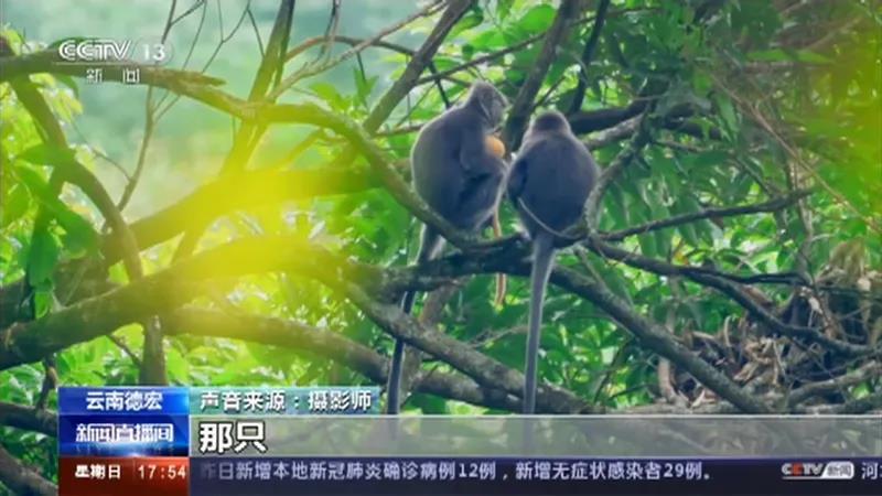 云南这11只小金猴不一般,集体刷屏央媒!