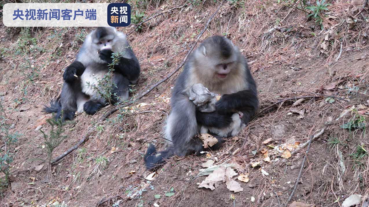 云南白马雪山国家级自然保护区滇金丝猴群喜添新丁