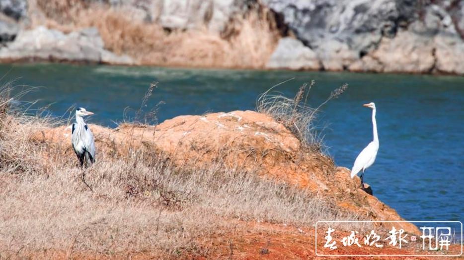 """数百只苍鹭精灵在沾益海峰湿地""""度假"""" (2)_副本.jpg"""