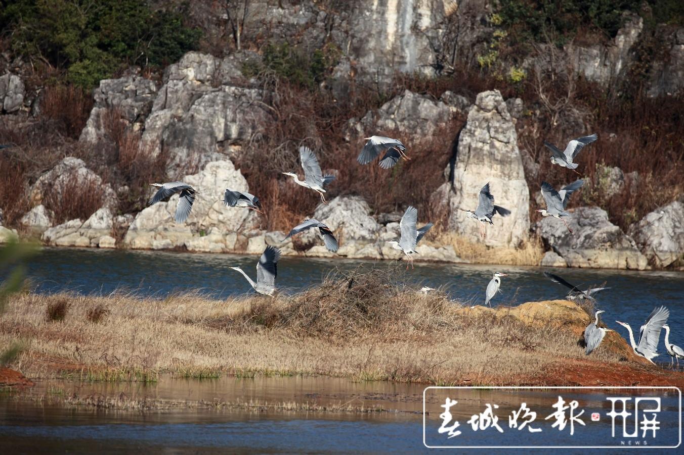 """数百只苍鹭精灵在沾益海峰湿地""""度假"""".jpg"""