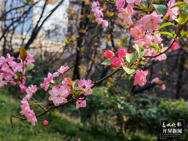 昆明动物园第二十一届雪兰樱花节开幕