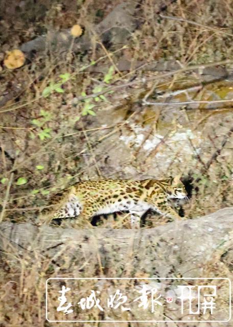惬意!野生豹猫现身保山高黎贡山百花岭村,遇见人也不怕