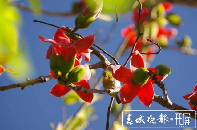 春天里的喜庆 一树攀枝花撑起一片春 (13).jpg