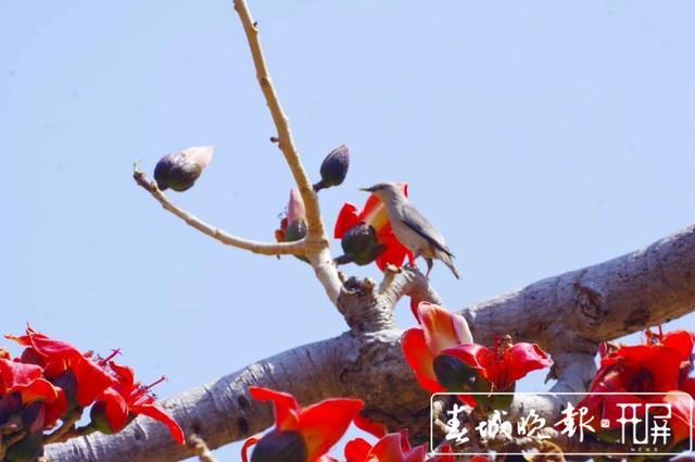春天里的喜庆 一树攀枝花撑起一片春 (9).jpg