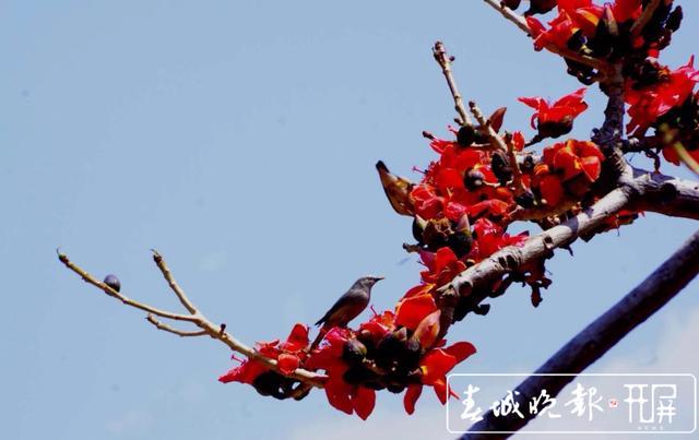 春天里的喜庆 一树攀枝花撑起一片春 (6).jpg