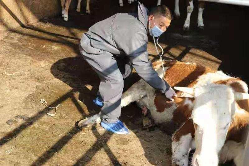 """平均每天挽回1.1万元损失!云南这位乡村兽医被称""""牯牛之子"""""""