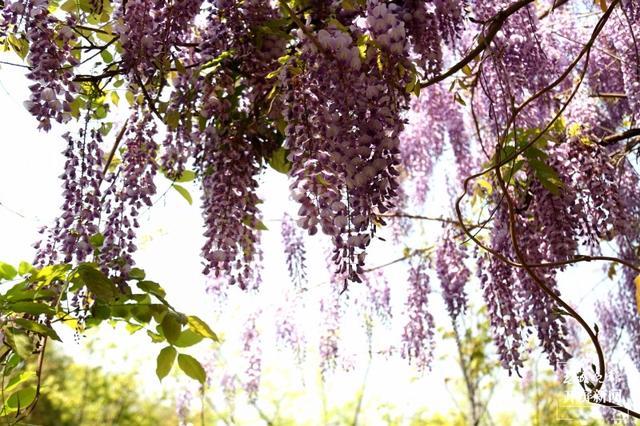 曲靖沾益紫藤花开了