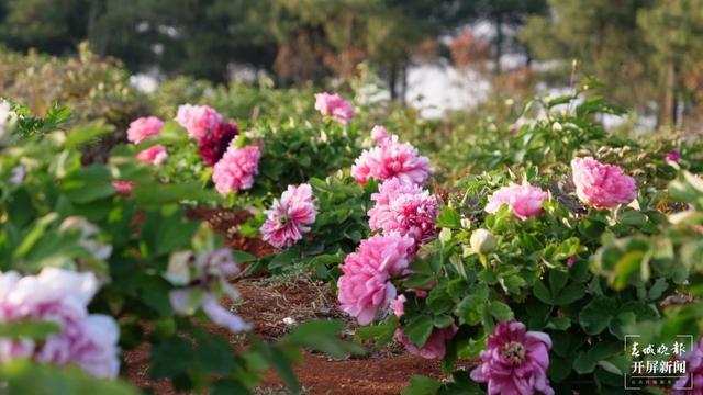 昆明阳宗海边,500亩牡丹与春争艳