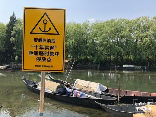 滇池剑鱼大量回游