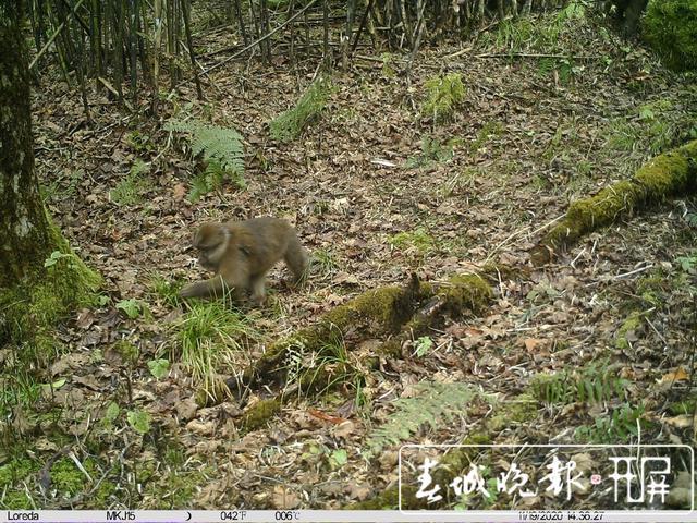 不仅在西藏,高黎贡山发现白颊猕猴新分布种群