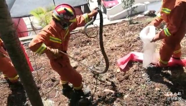 """3米长,手臂粗!玉溪消防员""""大战""""眼镜蛇(视频截图)"""