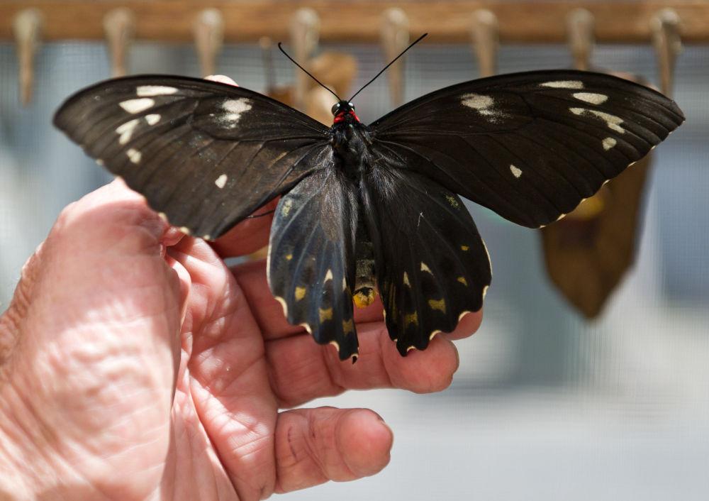 澳大利亚26种本地蝴蝶面临灭绝危险