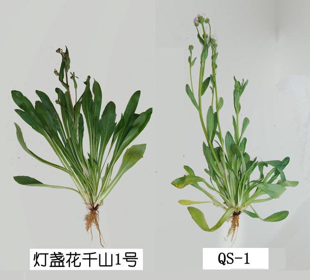 灯盏花(云南省药用植物生物学重点实验室 供图)