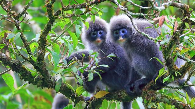 芒市坚守3个月只求拍到一张猴子照片,他却意外发现中国最大菲氏叶猴种群