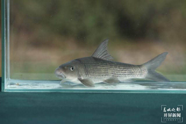他和团队攻克48种云南土著鱼人工繁殖技术难关