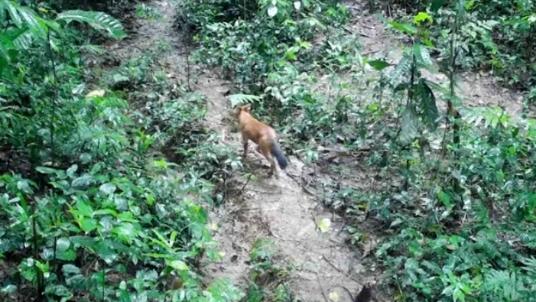 西双版纳植物园:大象前脚刚走,豺狗后脚就来!