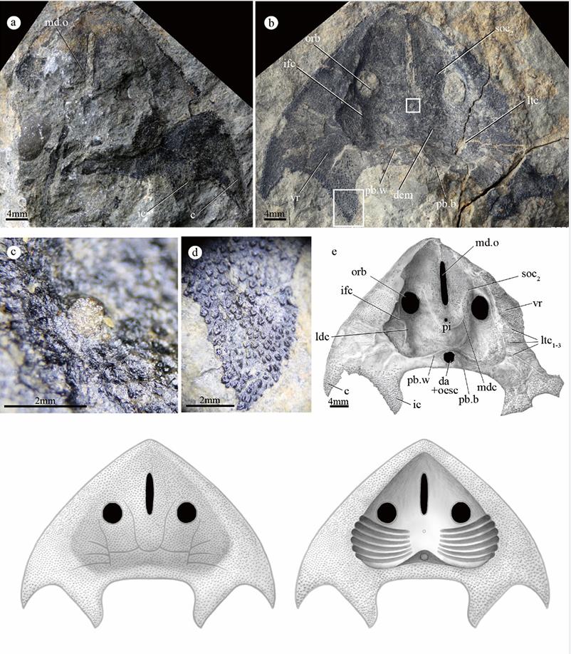 """水中的""""游泳健将""""!曲靖发现4.19亿年前最古老的三尖鱼类"""