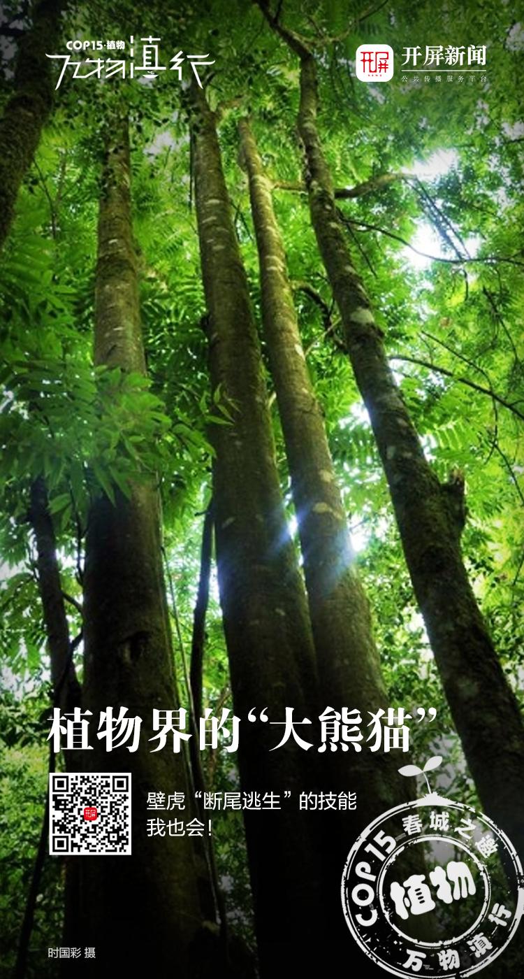万物滇行——伯乐树海报.jpg