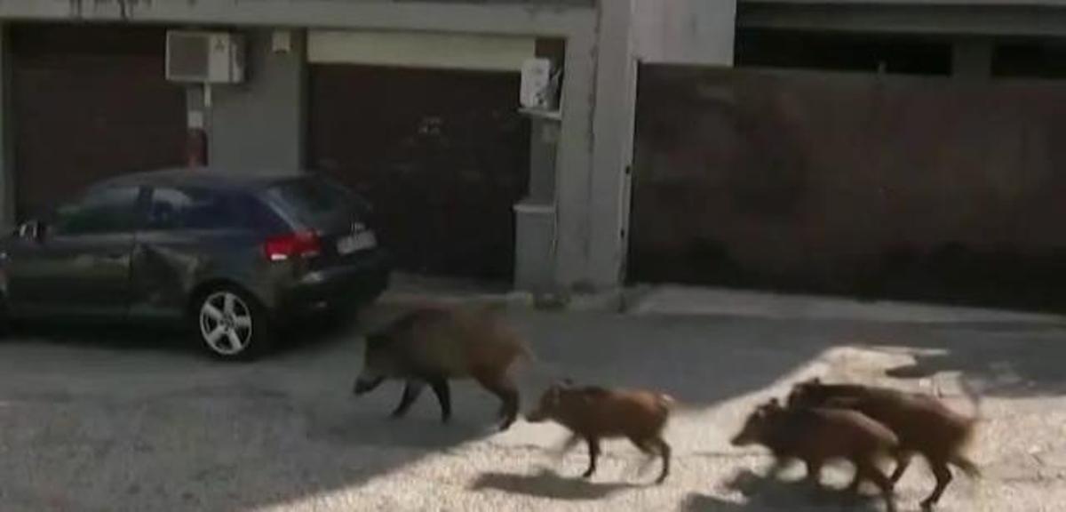 """罗马突遭野猪""""入侵"""""""