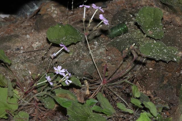 云南临沧发现植物新种长柱报春花(马兴达 摄)