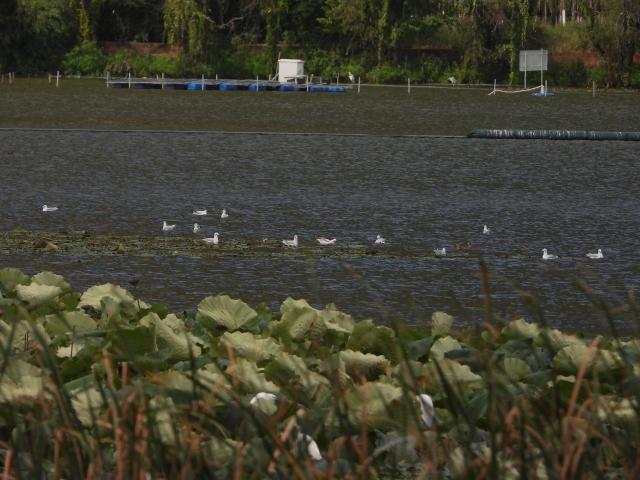 500多只红嘴鸥先头部队抵达滇池草海!(供图)