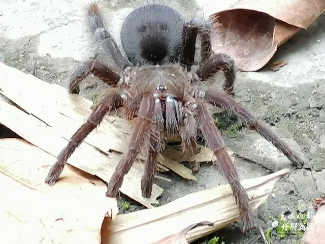 """云南临沧南滚河国家级自然保护区发现的狒蛛科蜘蛛""""捕鸟蛛""""确定为新种 (1).jpeg"""