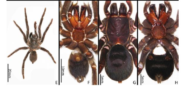 """云南临沧南滚河国家级自然保护区发现的狒蛛科蜘蛛""""捕鸟蛛""""确定为新种.png"""