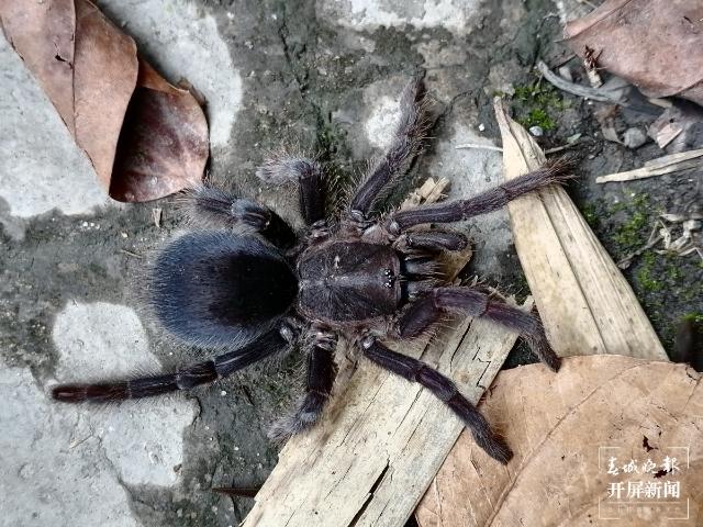 """云南临沧南滚河国家级自然保护区发现的狒蛛科蜘蛛""""捕鸟蛛""""确定为新种 (2).jpeg"""