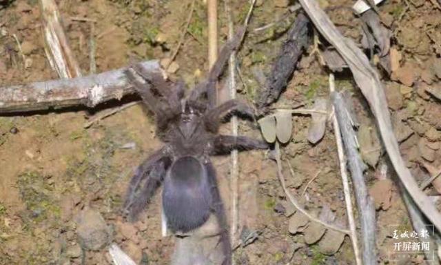 """云南临沧南滚河国家级自然保护区发现的狒蛛科蜘蛛""""捕鸟蛛""""确定为新种.jpeg"""